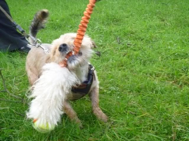 Teddy - 3 year old Yorkshire Terrier looking for understanding home - In S.Wales P1020133