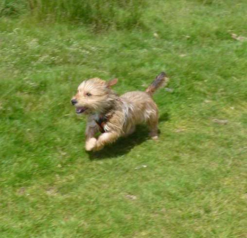 Teddy - 3 year old Yorkshire Terrier looking for understanding home - In S.Wales P1030545-1