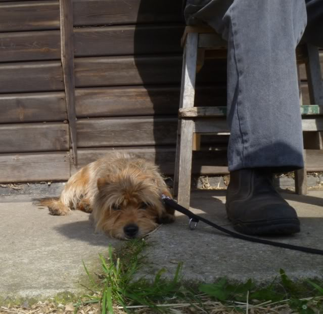 Teddy - 3 year old Yorkshire Terrier looking for understanding home - In S.Wales P1030624-1