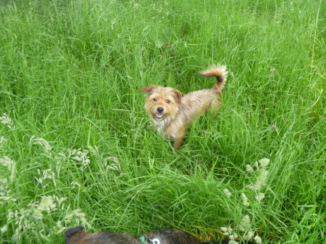 Teddy - 3 year old Yorkshire Terrier looking for understanding home - In S.Wales P1030629