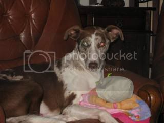 Speckles - 2 year old Lurcher - Loves everyone!  Sable02