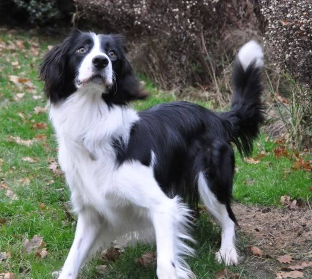 Sam - Active and sweet 17 month ESS x Collie Sam1