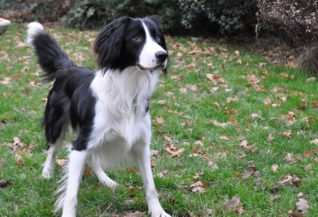 Sam - Active and sweet 17 month ESS x Collie Sam2