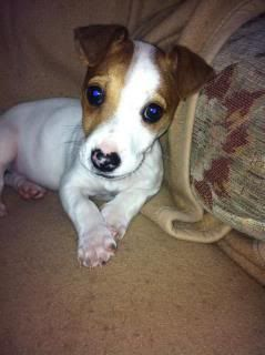 Silas - 8 week old JRT boy - Brace yourselves for cuteness! Silas02