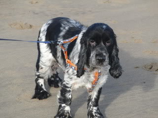 Sky - 5 year old Cocker Spaniel - Good with dogs, kids+cats Sky02