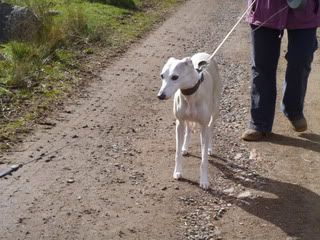 Spud - 6 year old Whippet - dog and child friendly Spud01