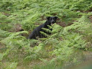 Stella - 5 year old Labrador cross GSD (Fostered in Berkshire) Stella01-1