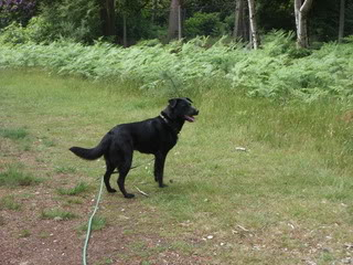Stella - 5 year old Labrador cross GSD (Fostered in Berkshire) Stella03-2