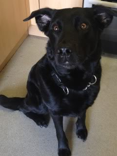 Stella - 5 year old Labrador cross GSD (Fostered in Berkshire) Stella04-1