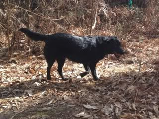 Stella - 5 year old Labrador cross GSD (Fostered in Berkshire) Stella05-1