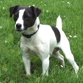Tilley - 1 year old JRT - Good with dogs and kids 8+ Tilly01-1