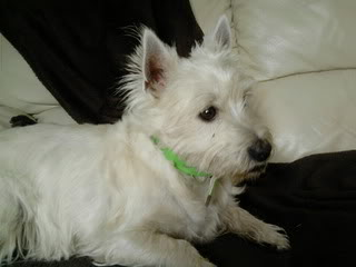 Toby - 3 year old West Highland Terrier (Fostered in Staff) Toby03