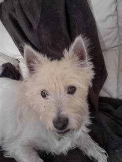 Toby - 3 year old West Highland Terrier (Fostered in Staff) Toby04