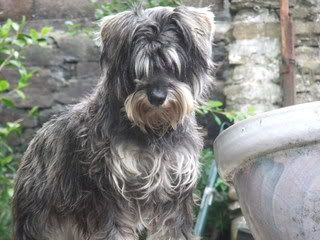 Toffee - 5 year old Miniature Schnauzer (Fostered in Cardiff) Toffee01