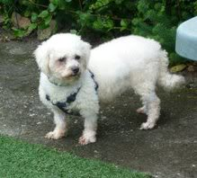 Tracey - 5 year old Bichon Frise - Fostered in Cornwall Tracey