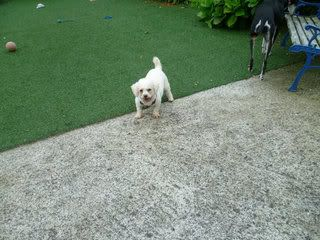 Tracey - 5 year old Bichon Frise - Fostered in Cornwall Tracey02