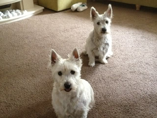 Toby - 3 year old West Highland Terrier (Fostered in Staff) BHa9d1