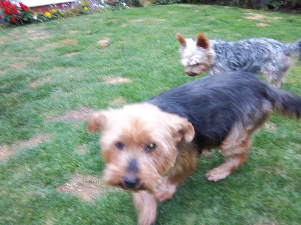 Rosie - Very sweet 5 year old Yorkshire Terrier  Bobs064