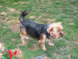 Rosie - Very sweet 5 year old Yorkshire Terrier  Bobs075-1