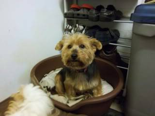 Rosie - Very sweet 5 year old Yorkshire Terrier  Bobs078-1