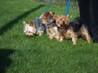 Rosie - Very sweet 5 year old Yorkshire Terrier  Bobs095