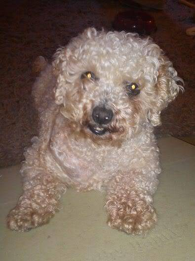 Sasha - 5 year old Bichon Frise (Fostered in Portsmouth) Dsc00079mu