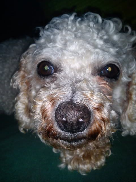 Sasha - 5 year old Bichon Frise (Fostered in Portsmouth) Dsc00099xy