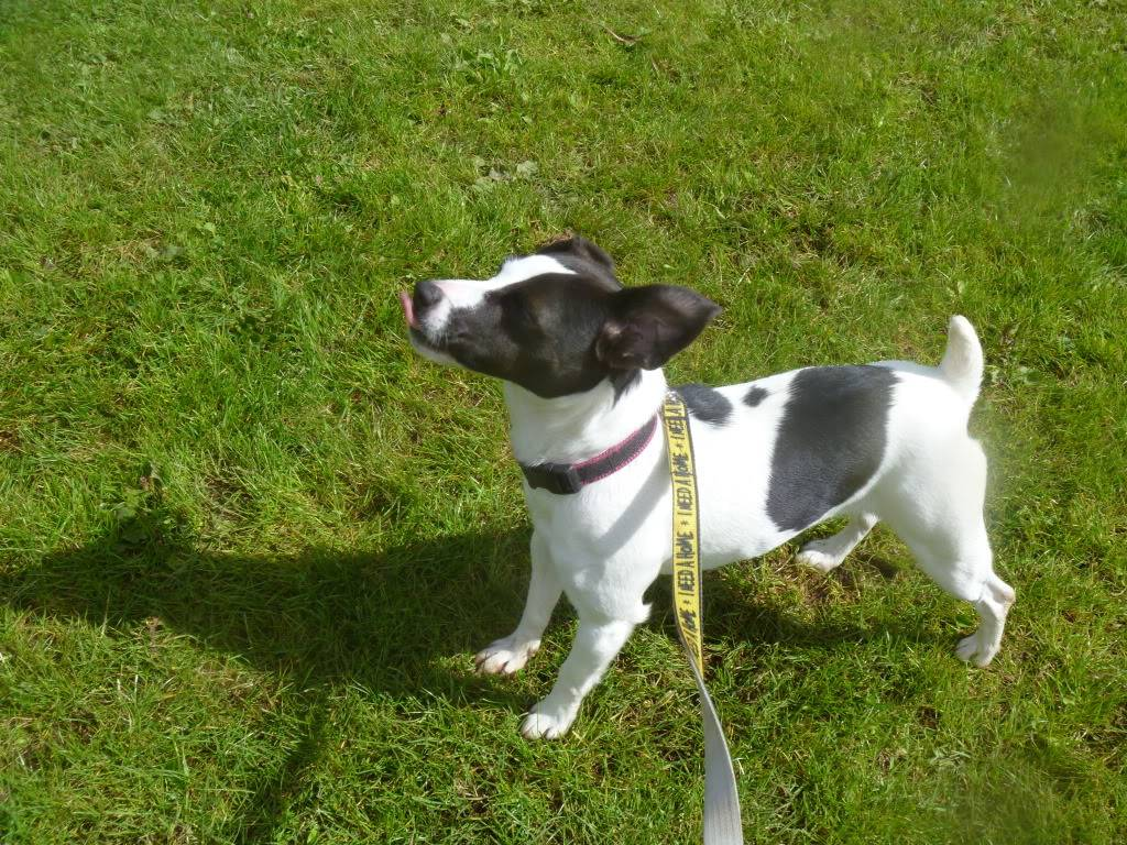 Tilley - 1 year old JRT - Good with dogs and kids 8+ Foadogs009