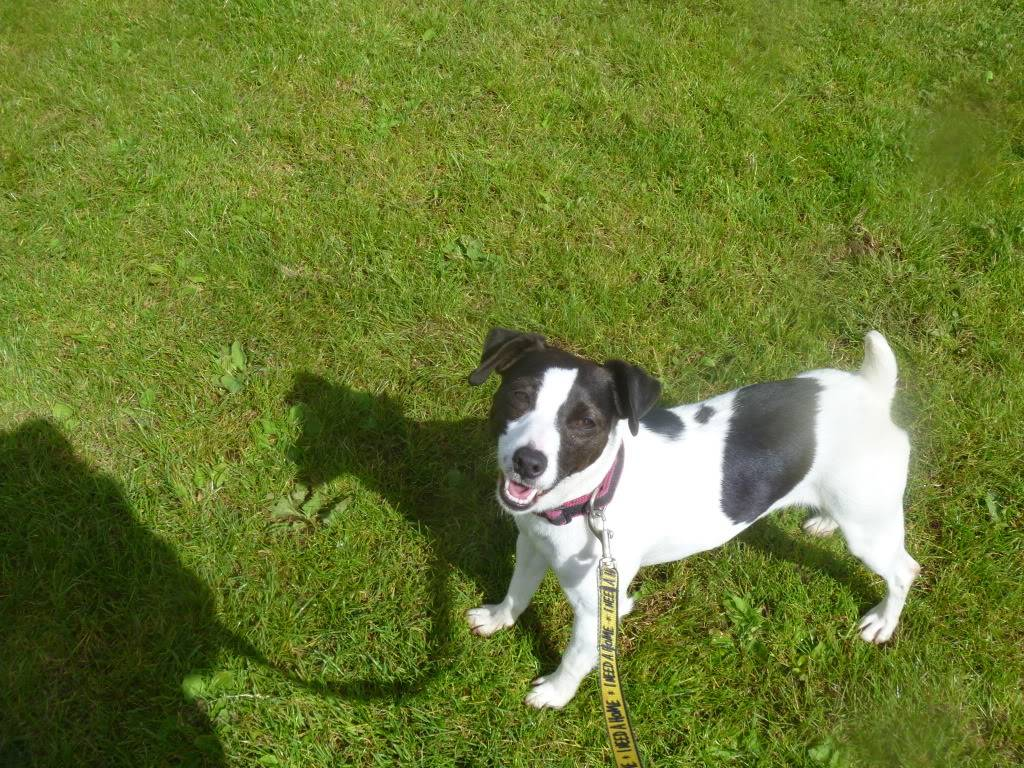 Tilley - 1 year old JRT - Good with dogs and kids 8+ Foadogs010