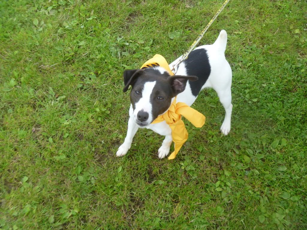 Tilley - 1 year old JRT - Good with dogs and kids 8+ Foadogs011