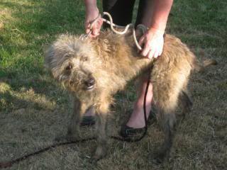 Taz - Very handsome 14 month old Lurcher Kenneldogsjune2010090