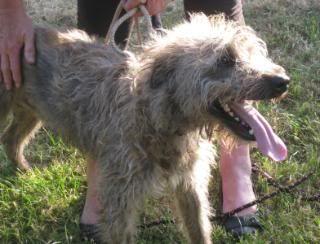Taz - Very handsome 14 month old Lurcher Kenneldogsjune2010102