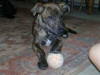 Sleepy - 4 month old Whippet cross - good with kids, cats and dogs Rocky001