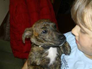Sleepy - 4 month old Whippet cross - good with kids, cats and dogs Rocky014