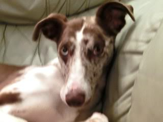 Speckles - 2 year old Lurcher - Loves everyone!  Speckles011