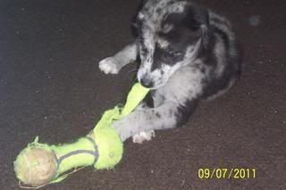Susie - 10 week old Blue Merle Border Collie (In S.Wales) Summerdogshowposter2