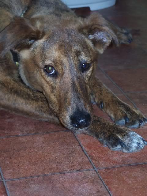 Tiger-lily - Stunning 8 month Collie X Greyhound TL3-1
