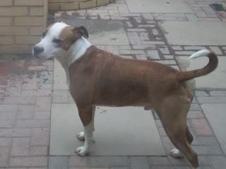 Yoda - 1 year old SBT cross British Bulldog - very sweet boy 100E1751