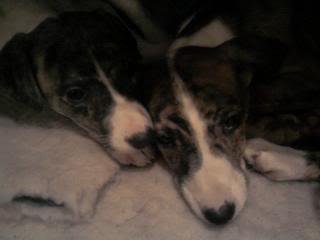 Vixen - 8 week old Lurcher (greyhound x saluki) FlyVixen
