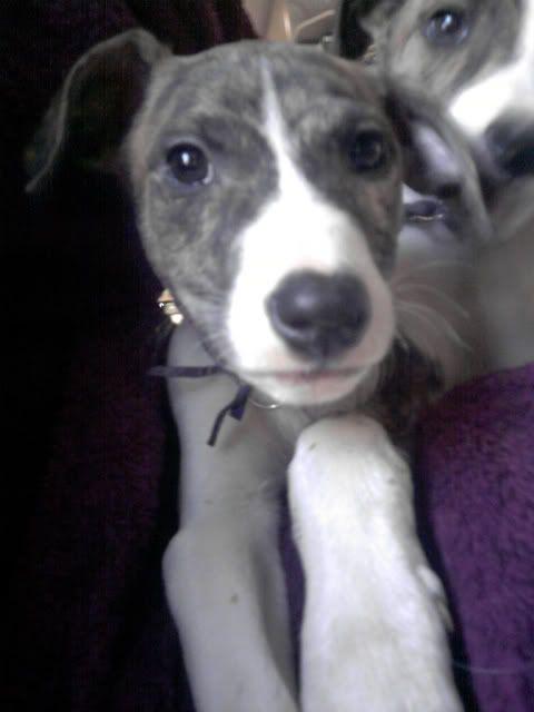 Vixen - 8 week old Lurcher (greyhound x saluki) P221211_0933