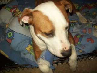 Yoda - 1 year old SBT cross British Bulldog - very sweet boy Yoda