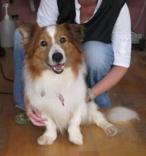 Croeso - 5 year old - small collie x Croeso2