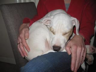 Duckie - American Bulldog X Sharpei - 20 week old pup Duckie