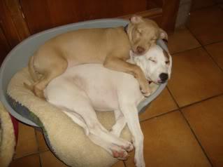 Honey - American Bulldog X Sharpei - 17 Weeks Old Honeyandsugar