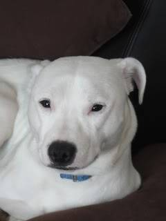 Jamie - Stunning Staffie Crossbreed - Nearly 2 years old Jm