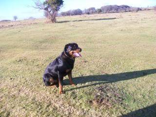 Tango - Handsome 9 Month Old Rotteweiler Pup Tangorottipup