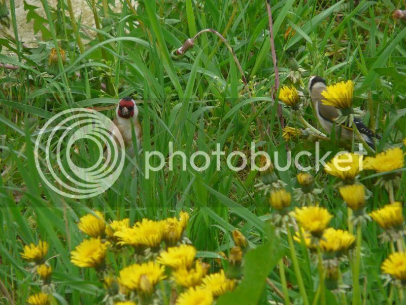 les oiseaux dans mon jardin... P1020939a