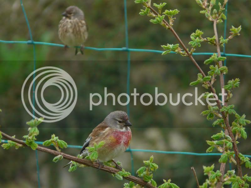les oiseaux dans mon jardin... P1020959a