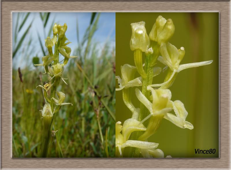 Liparis loeselii ( Liparis de Loesel ) 15