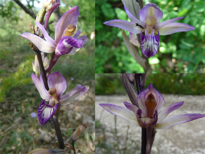 Limodorum abortivum  ( Limodore à feuilles avortées ) 16-1